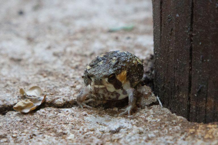Ventriloquial Frog
