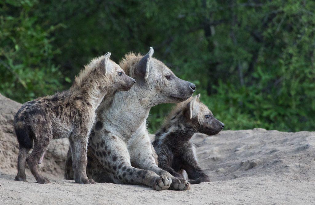 Wild About Kruger - Hyena by Derek Solomon