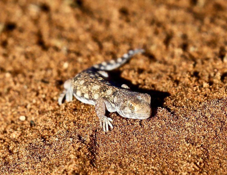 Recording Barking Gecko