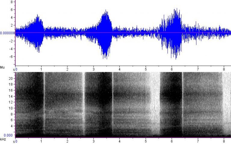 Puff Adder Sonogram