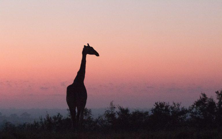Wild about Kruger - Giraffe