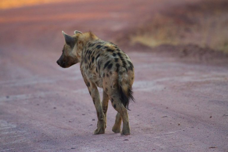 Animals in Action - Spotted Hyaena