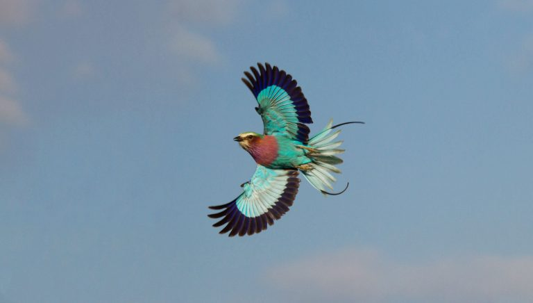 Birds of Zambia - Lilac-breasted Roller