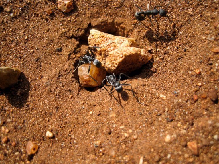 Stink Ant - Recording by Derek Solomon